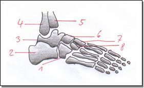 Fußwurzelknochen Bruch