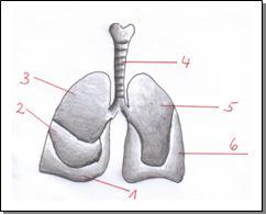 wo sitzt die lunge