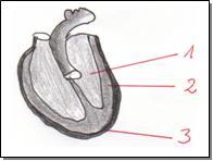 Latein herz aufbau Anatomie und