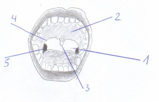 Mundhöhle - Cavum oris || Med-koM